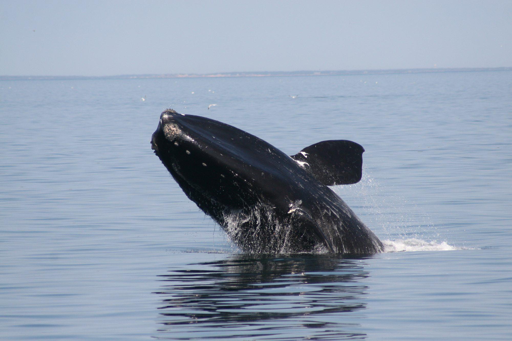 Der Atlantische Nordkaper ist vom Aussterben bedroht. (C) WDC