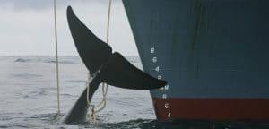 Walfang in Norwegen: Das große Schlachten