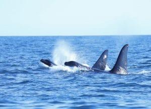Die tragische Geschichte der vom Aussterben bedrohten Orcas vor Großbritannien