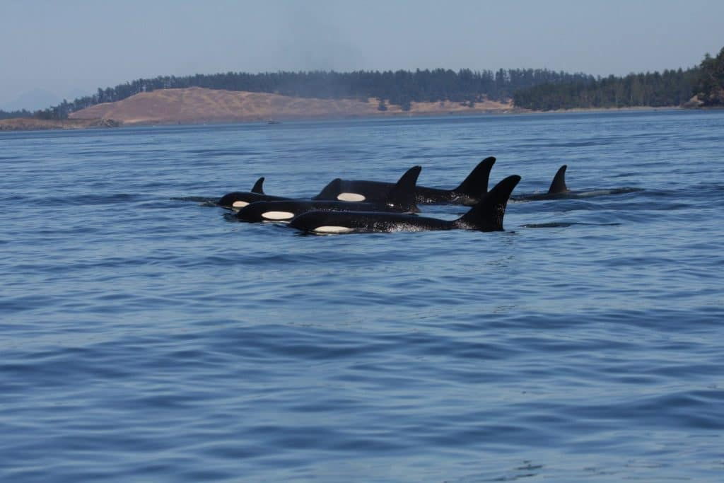 Warum werden Orca-Weibchen nach den Wechseljahren so alt?