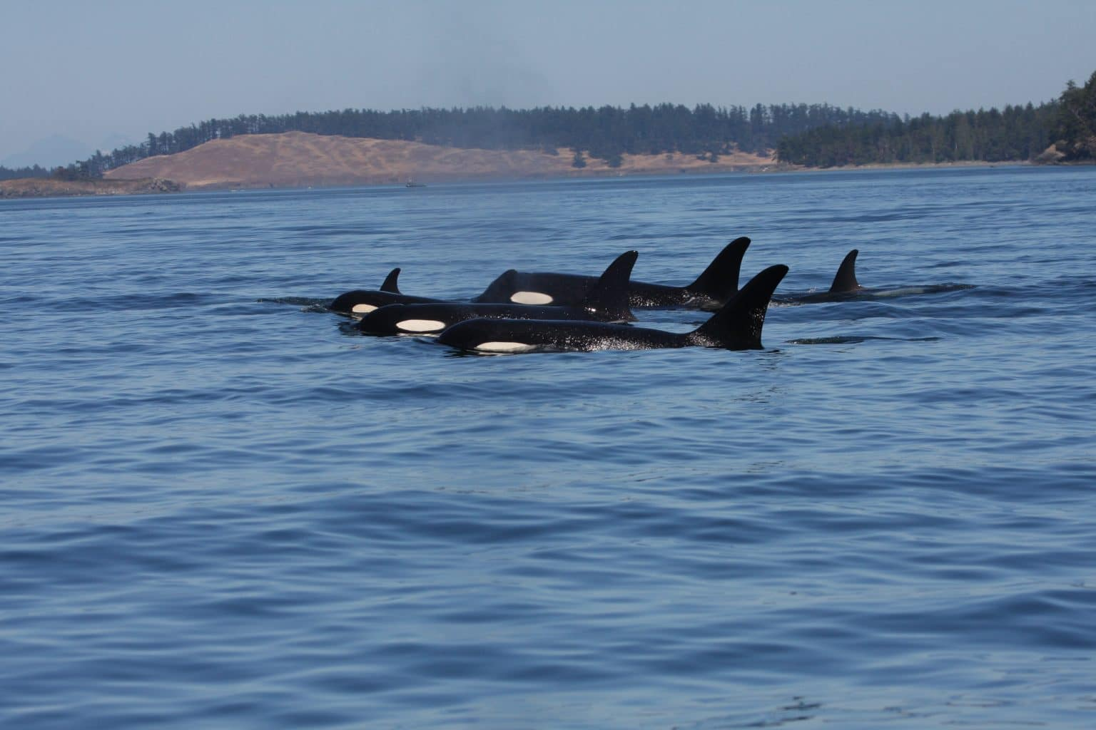Southern Resident Orcas (C) Rob Lott, WDC