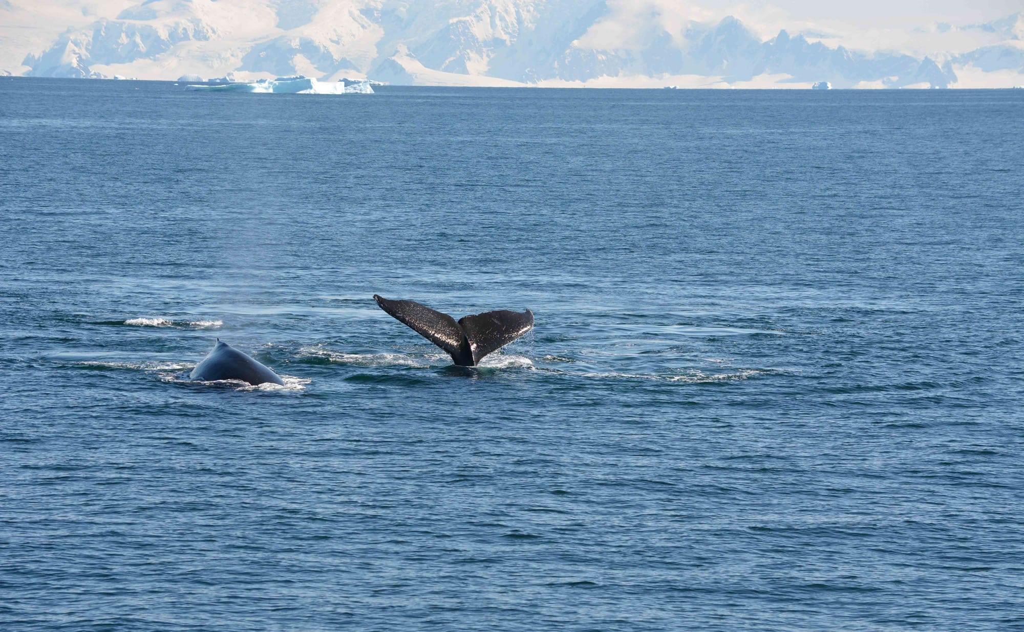 Buckelwale in der Antarktis. (C) Marta Hevia / WDC