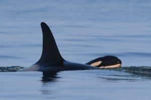 Neues Baby für Orca Talequah