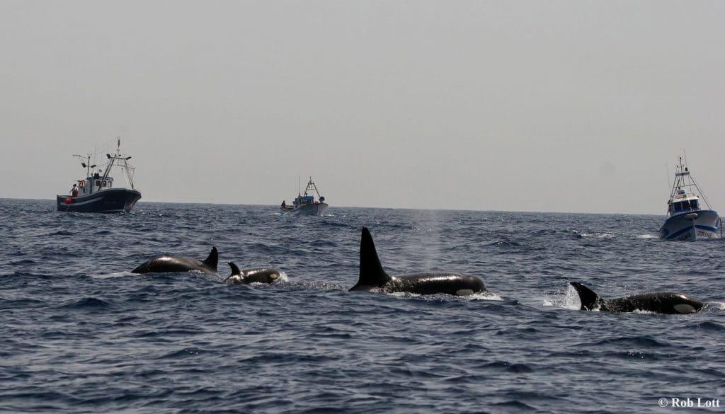 Mysterium: Greifen Orcas im Atlantik Boote an?