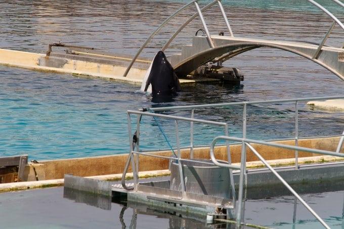 Orca in Gefangenschaft (C) WDC