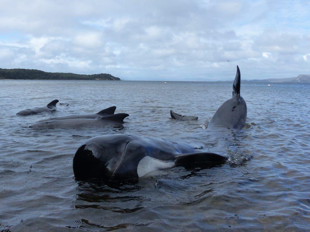 Wie war es, im Rettungsteam bei der Grindwal Strandung in Tasmanien dabei zu sein?