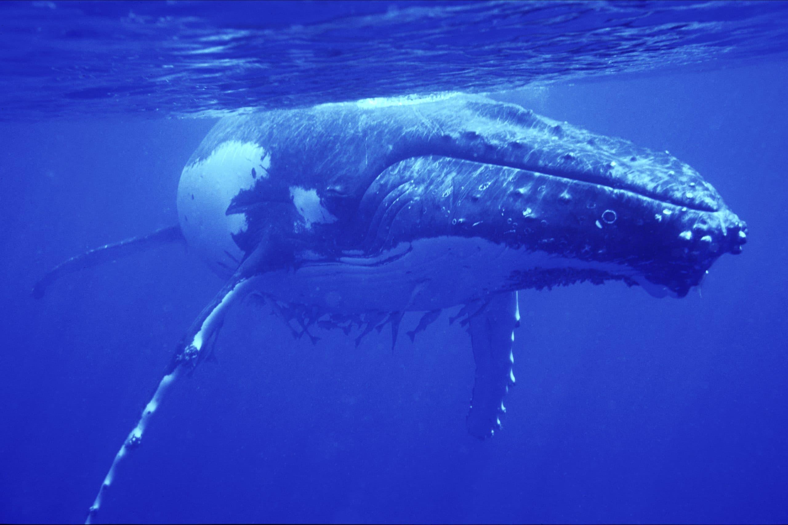 Wale sind Klimaschützer (C) Scott Portelli