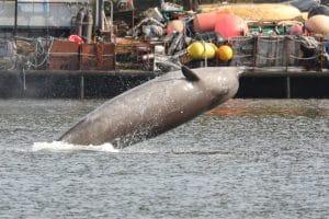 Retter versuchen Wale vor Militärübung zu schützen
