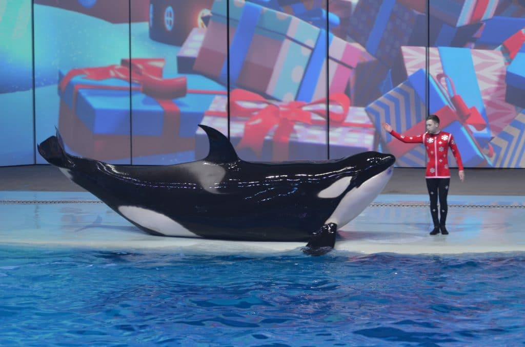 Der Orca Narnia tritt in Russland auf. (C) Oxana Fedorova