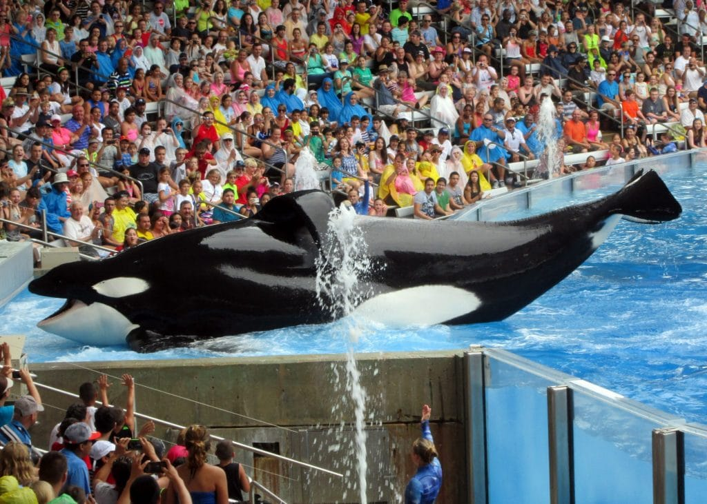 Orca-Männchen Tilikum bei einer Show. (C) Paul Wigmore