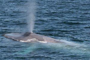 Blauwal-Sichtungen nehmen vor Südgeorgien zu