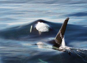 Stecken Orcas hinter dem Rückgang der Weißen Haie?