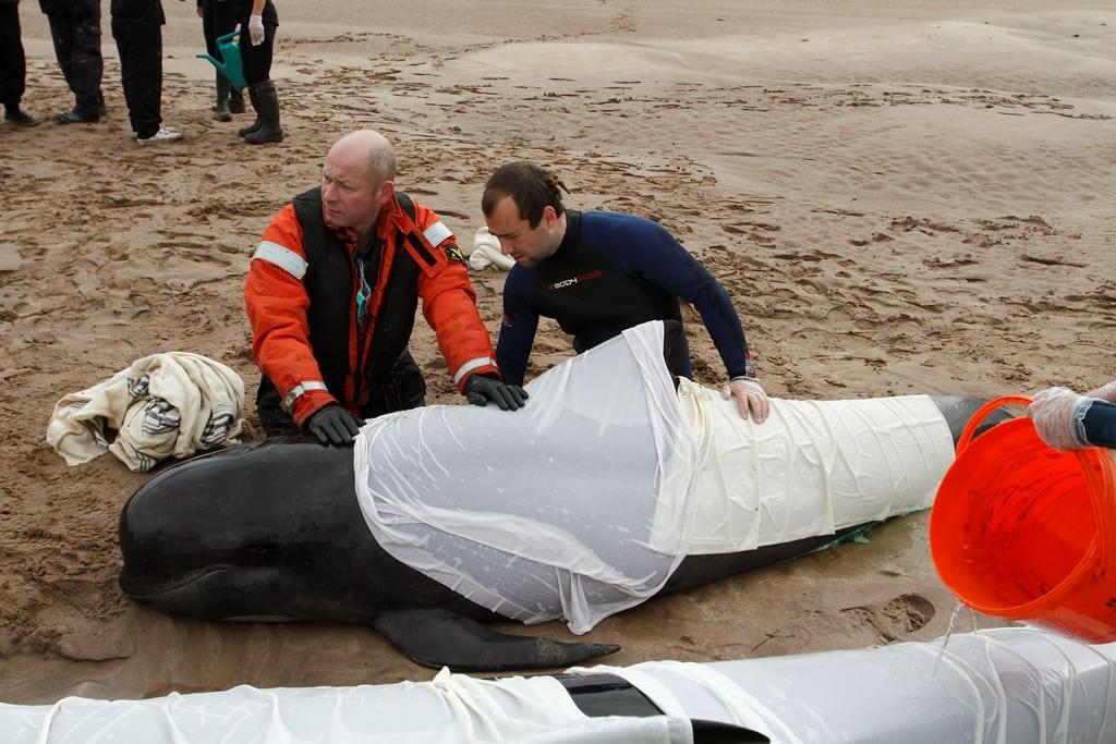 Ein gestrandeter Grindwal wird von einem Rettungsteam betreut. (C) Charlie Phillips