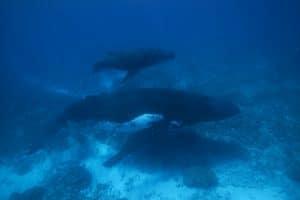 Sorgt der Tiefseebergbau bald für den ökologischen Super-GAU?