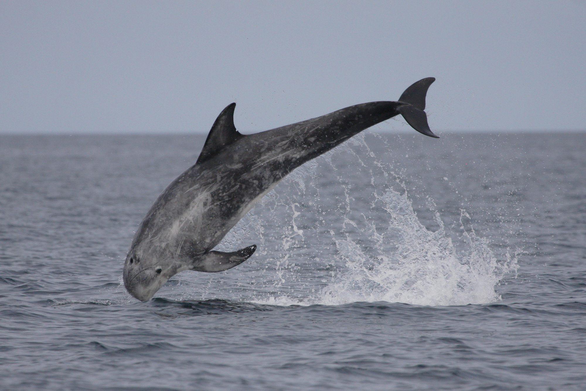 Rundkopfdelfin vor Schottland (C) Nicola Hodgins