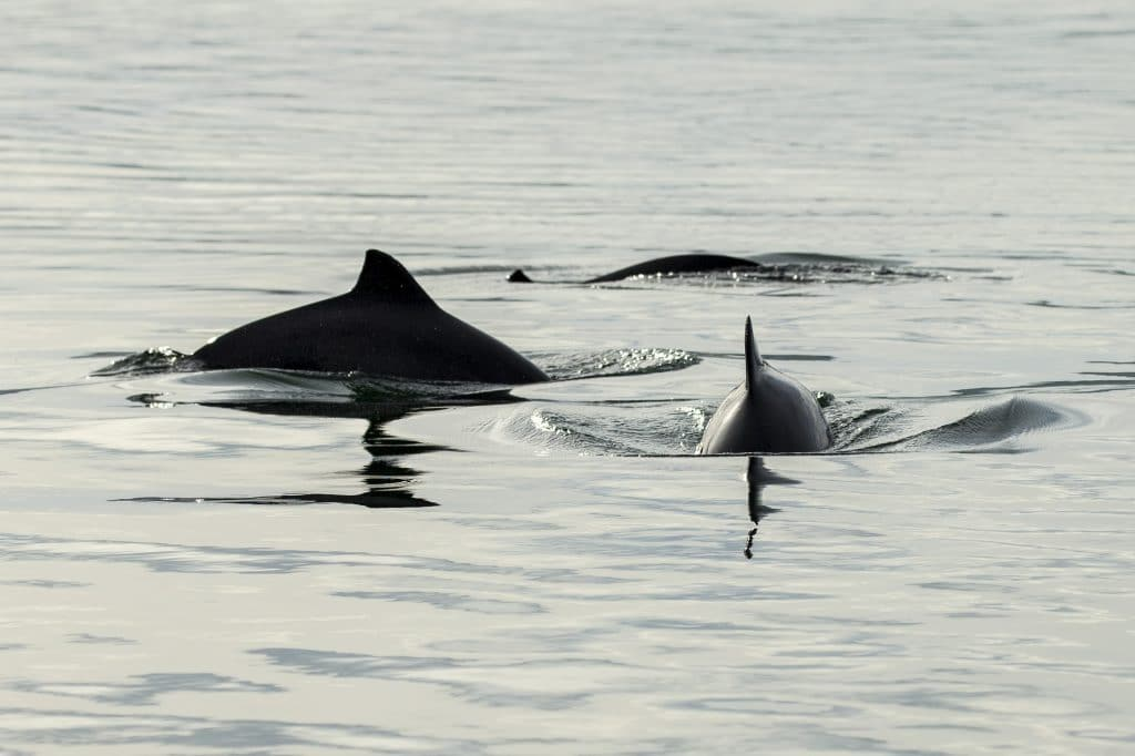 Das leise Verschwinden der Schweinswale aus der deutschen Nordsee