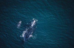 WDC klagt den Schutz der bedrohten Atlantischen Nordkaper ein