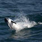 peales-dolphin-leap-vanesa-reyes-wdc-2-250x250