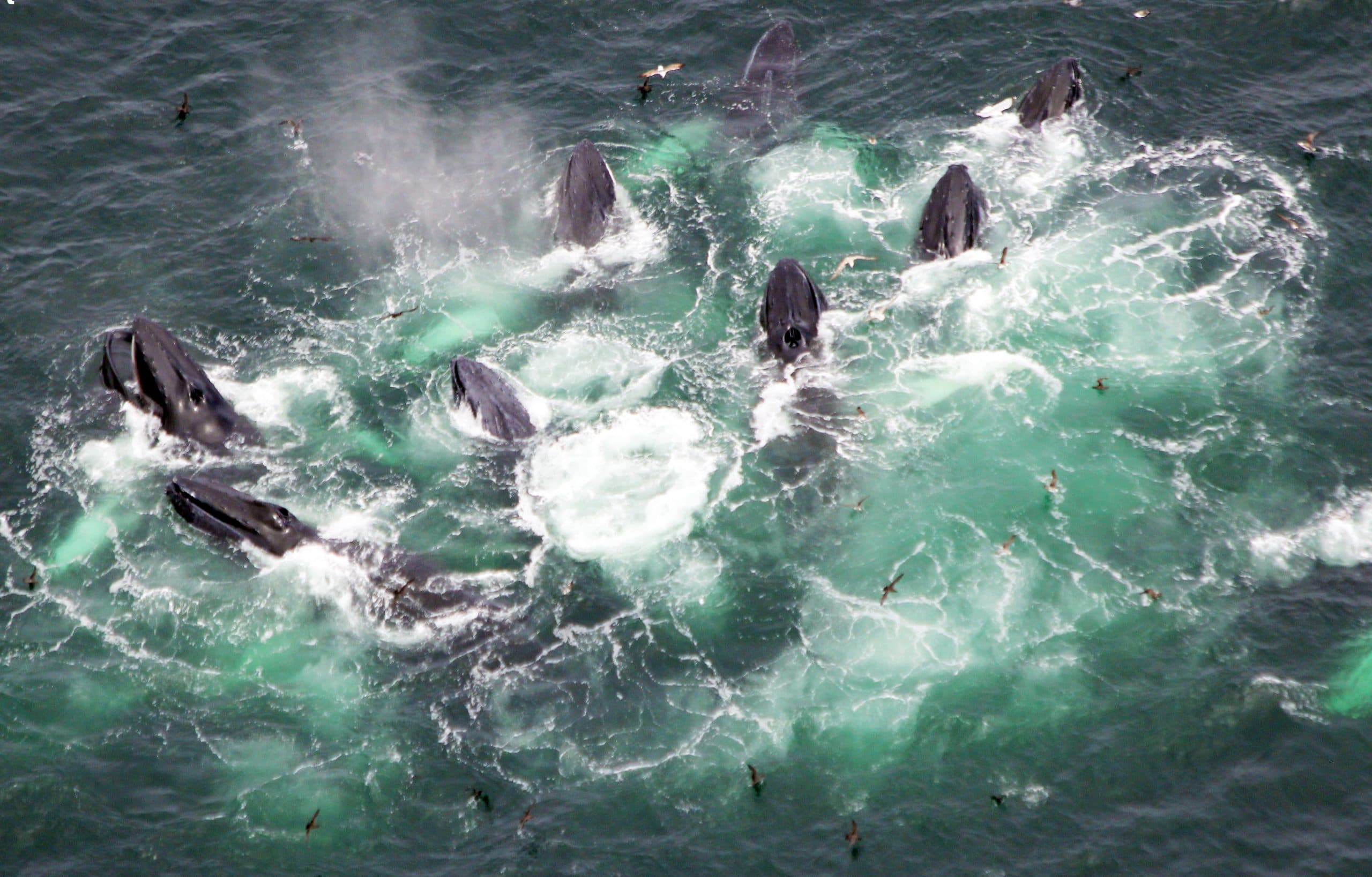Buckelwale beim Fressen (C) WDC