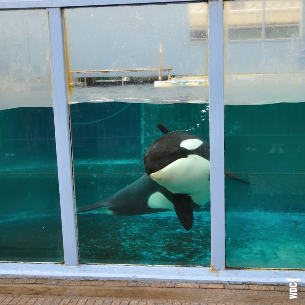 Orca-Captivity_C_Jan-vanTwillert