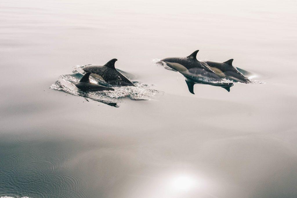 dolphins-945410_1920_pixabay