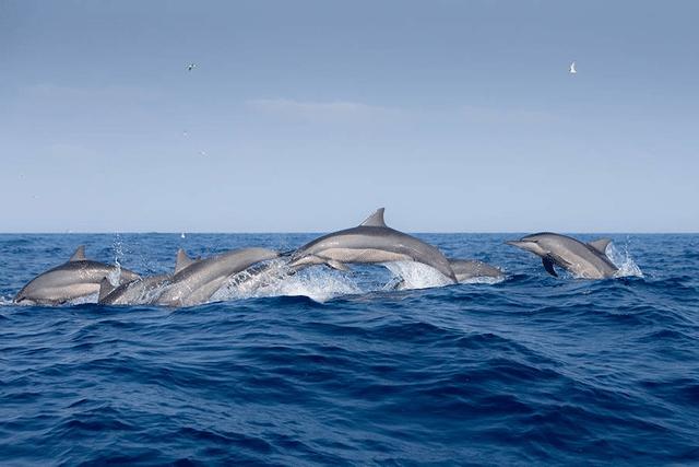 Spinner-Delfine vor Sri Lanka (C) Andrew Sutton