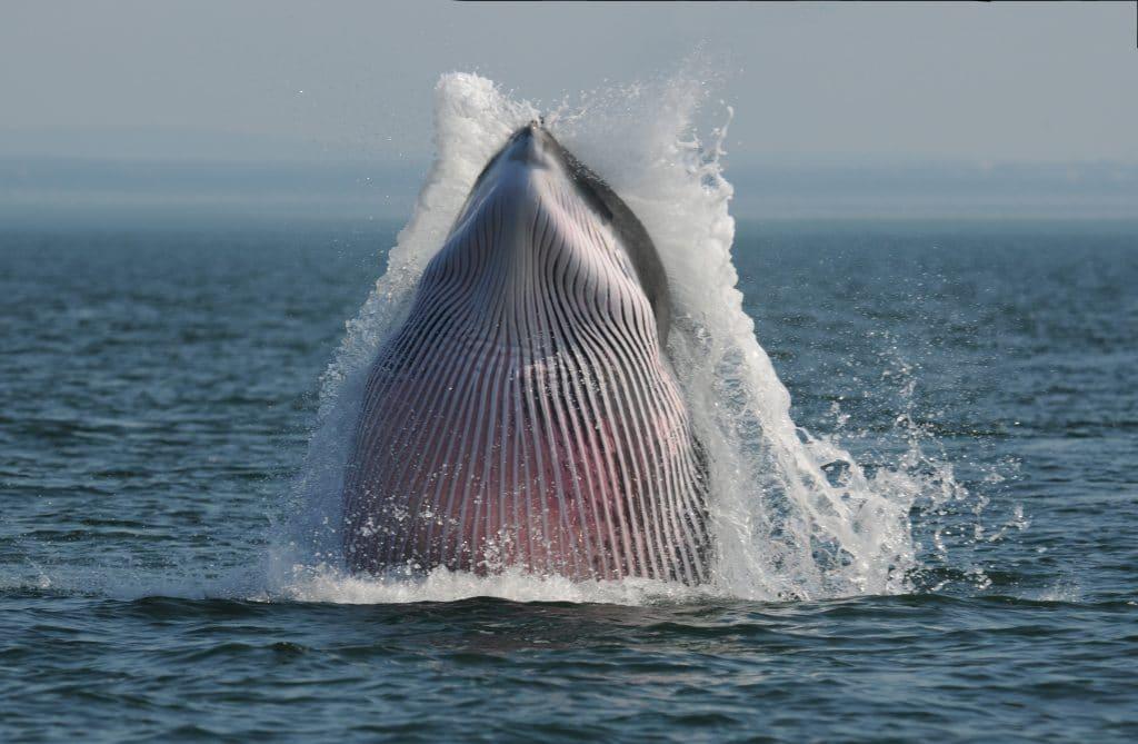 04_Minke whale_© Ursula Tscherter ORES