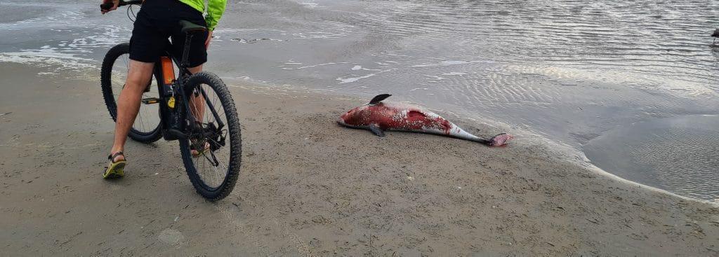 Toter Schweinswal auf Ameland (C) Mirjam Reuland / Schweinswale e.V.