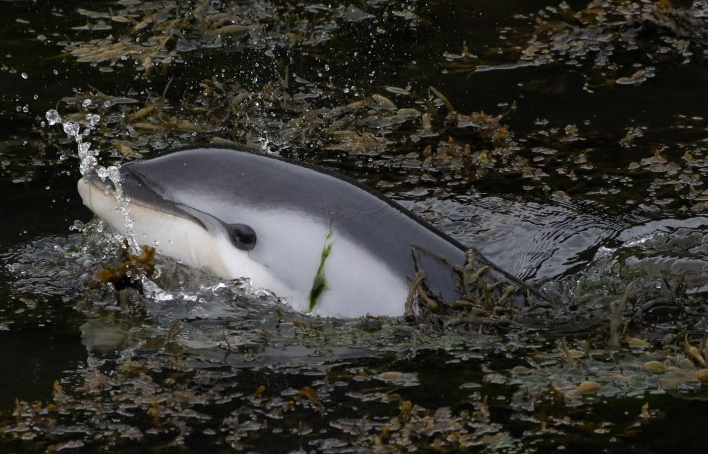 Altantic-white-sided-dolphin-in-kelp-in-Stornaway-Harbour-face-WDC_Nicola-Hodgins-1024x656