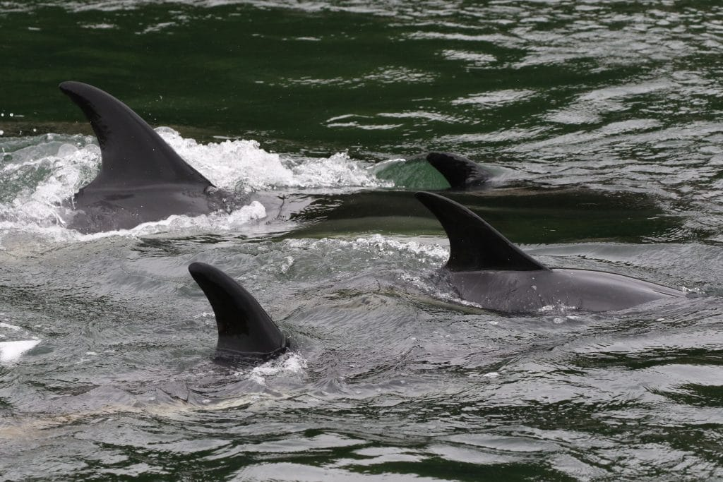 Altantic-white-sided-dolphins-trapped-in-Stornaway-Harbour-WDC_Nicola-Hodgins-1024x683