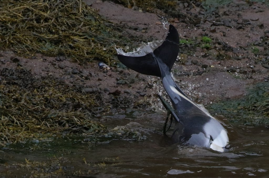 Altantic-white-sided-dolphins-trapped-in-kelp-in-Stornaway-Harbour-WDC_Nicola-Hodgins-1024x677