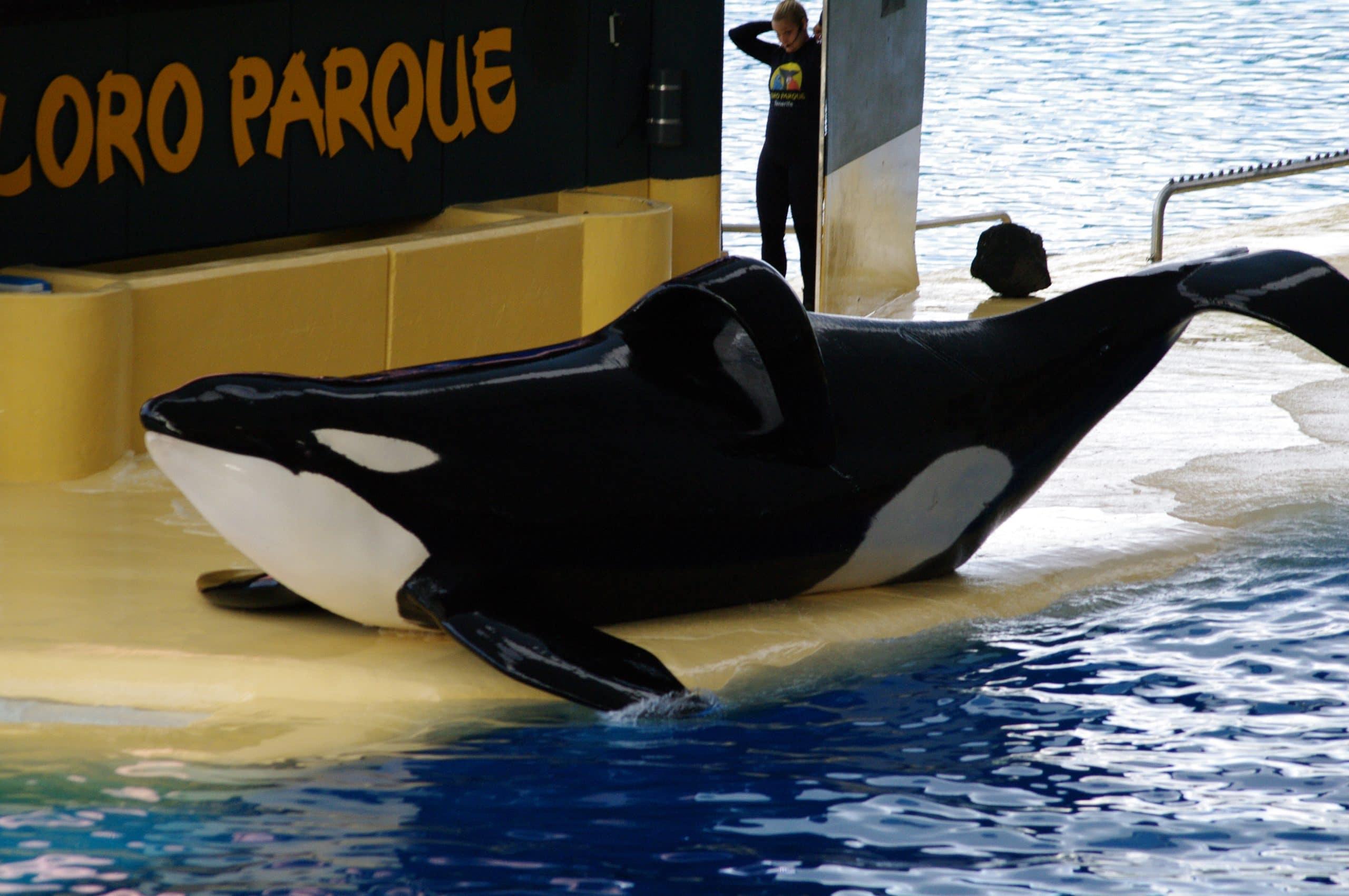Orca-Keto-LoroParque_c_UCLudewig
