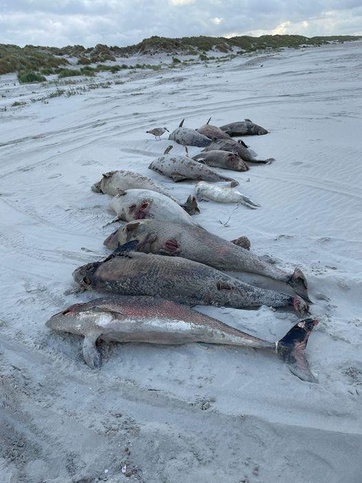Gestrandete, tote Schweinswale auf Ameland (C) Rob Knoeff / RTZ