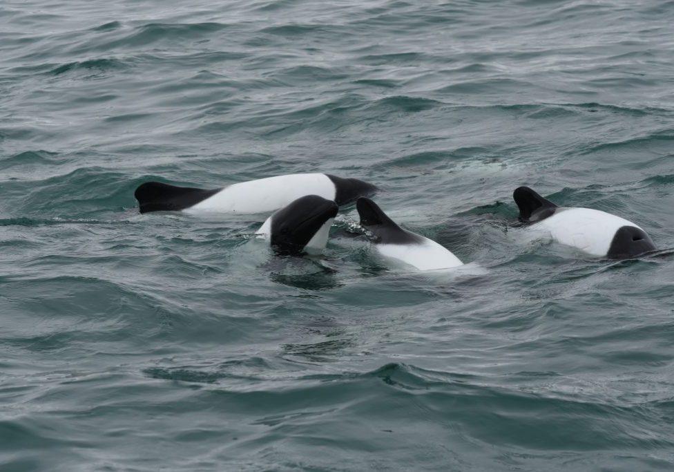 Commerson-Delfine vor Patagonien (C) Miguel Iniguez