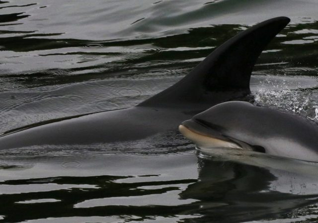 Atlantic-White-sided-dolphin-Stornaway-Harbour_-WDC_Nicola-Hodgins-scaled