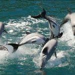 Neuseeland-Delfine