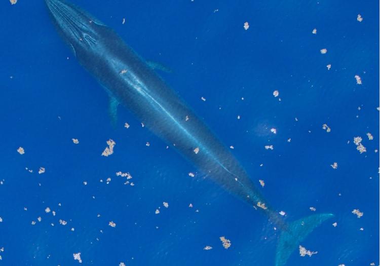 Luftaufnahme eines Rice-Wals im Golf von Mexiko (C) NOAA