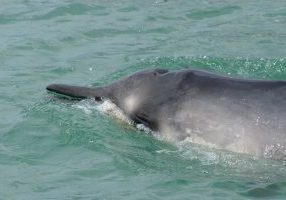 Gray's beaked whale