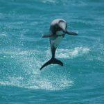Neuseeland-Delfin