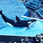 orca_performing_in_captivity