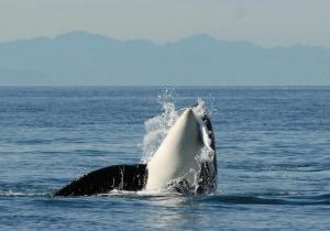 Southern Resident Orca (C) Dave Ellifrit