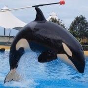 Orca Morgan gives birth at theme park, Loro Parque